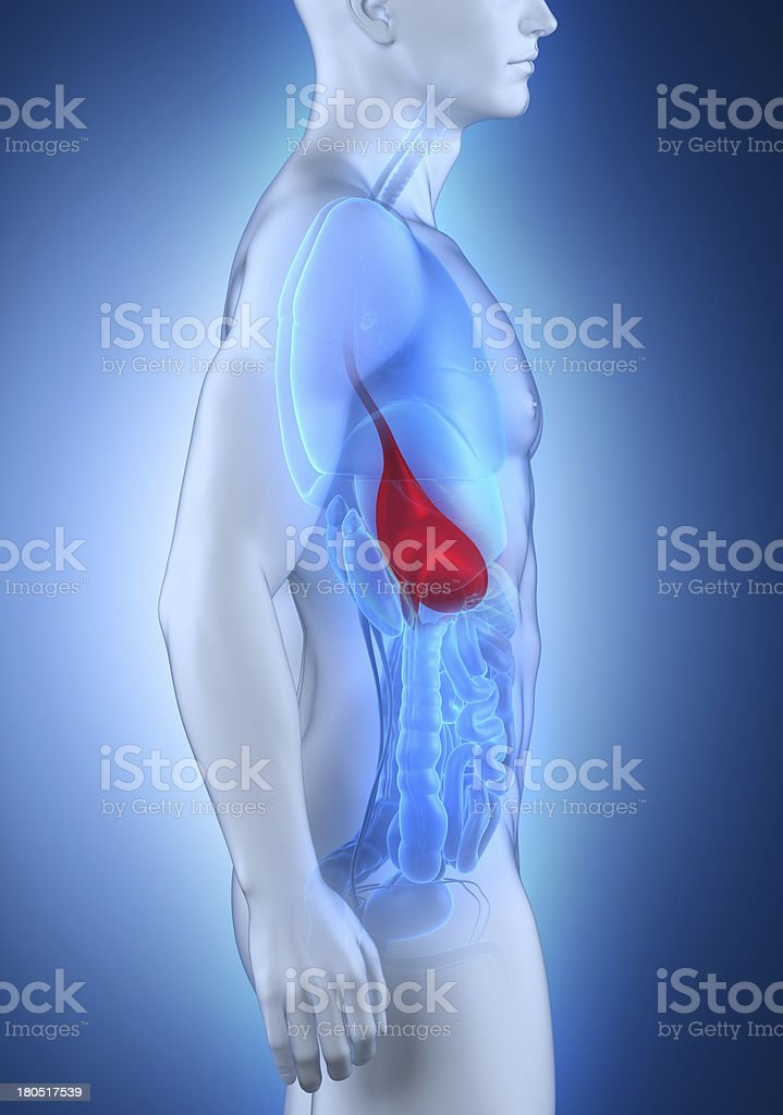 Male stomach anatomy lateral view royalty-free stock photo