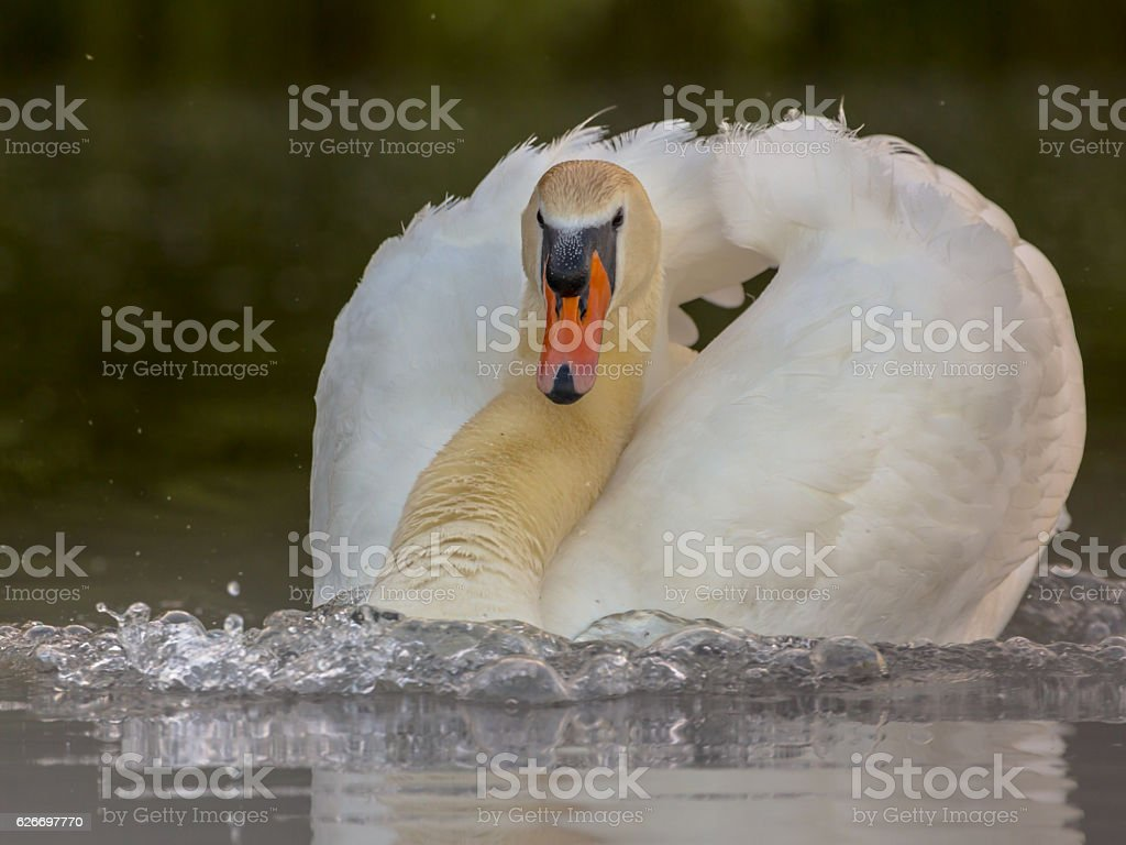Male swan protecting nest site stock photo