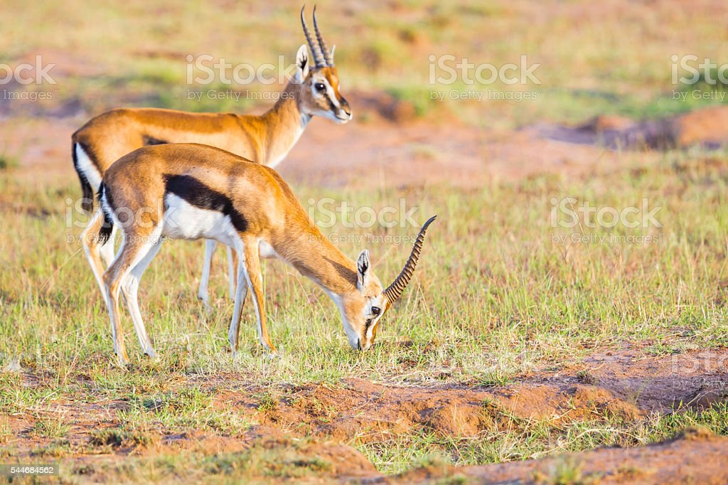 Male Thompson Gazelles stock photo