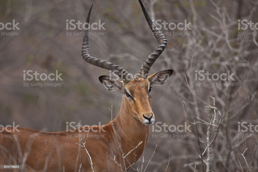 Male Thomson's Gazelle stock photo