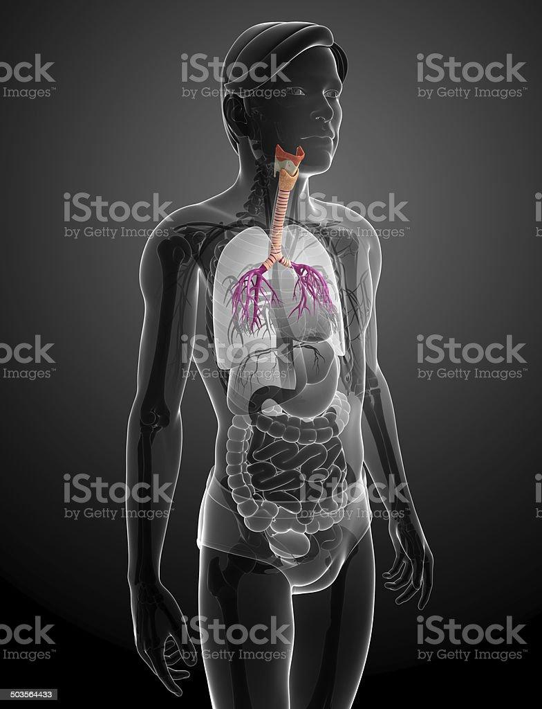 Male Throat Anatomy Stock Photo Istock