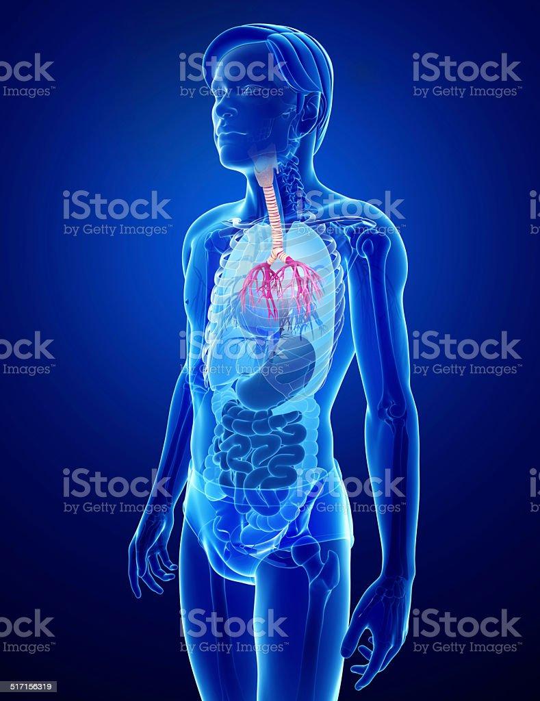 Male Throat Anatomy Stock Photo More Pictures Of Abdomen Istock