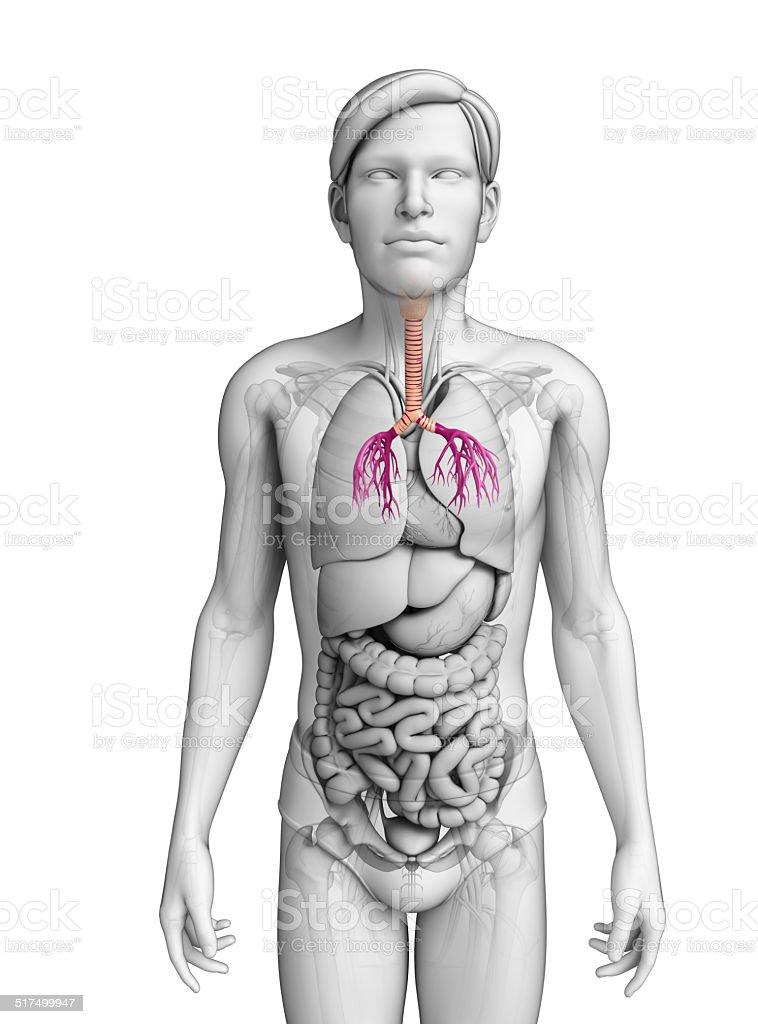 Hombre Anatomía De La Garganta - Fotografía de stock y más imágenes ...