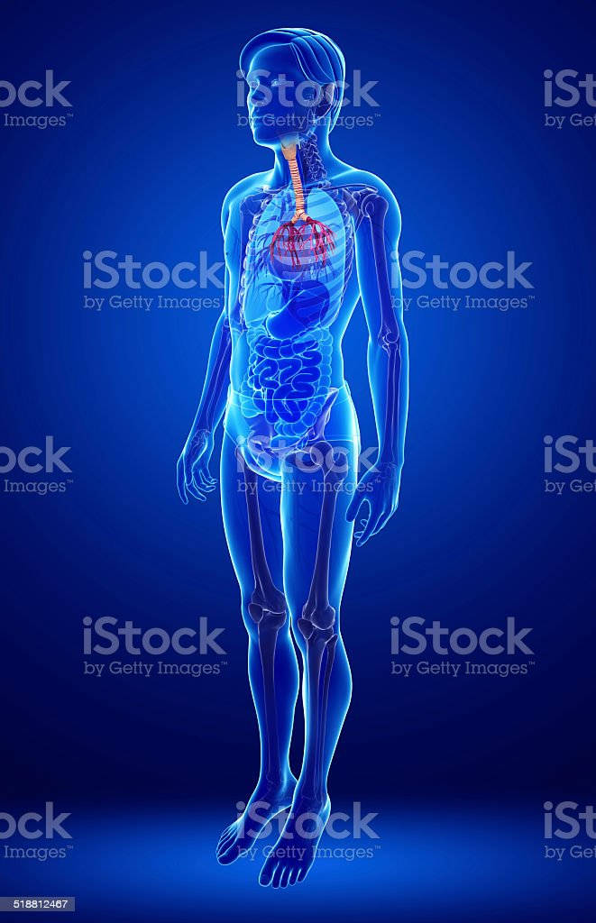 Hombre Anatomía De La Garganta Stock Foto e Imagen de Stock ...