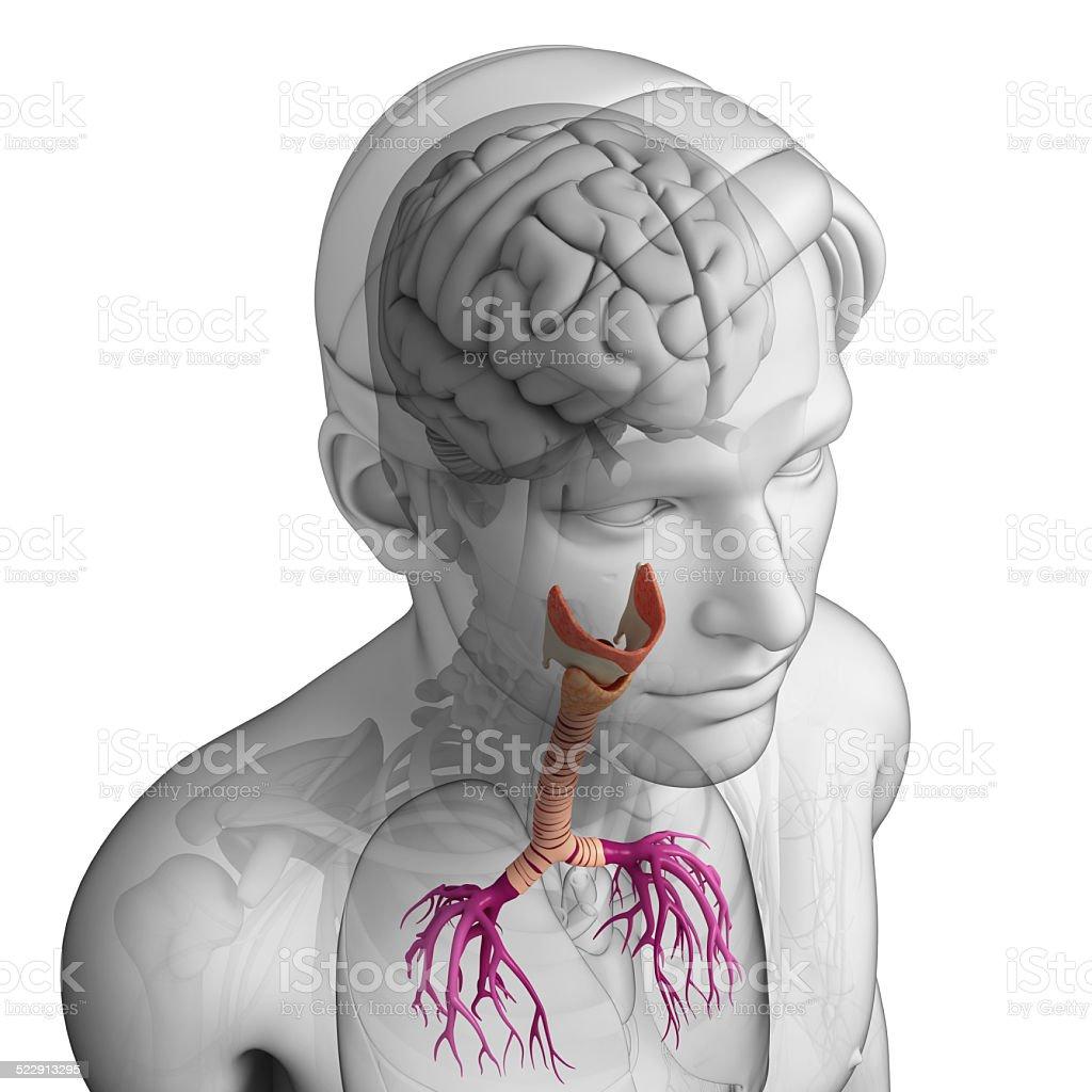 Fotografía de Hombre Anatomía De La Garganta y más banco de imágenes ...
