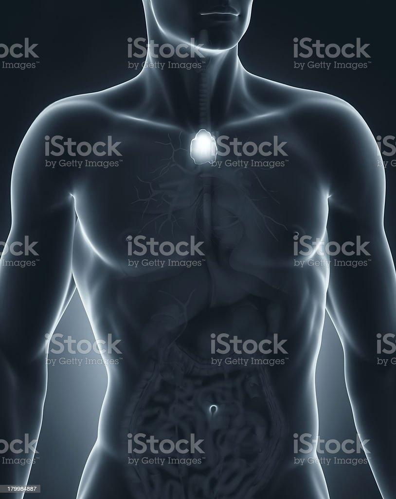 Male thymus anatomy anterior view royalty-free stock photo