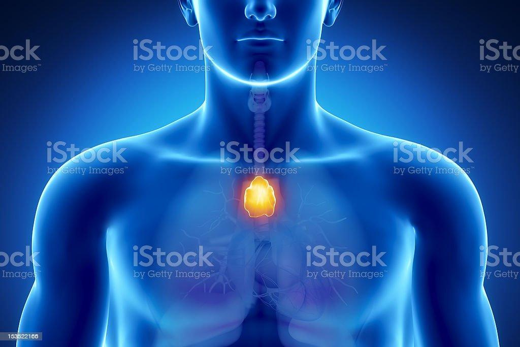 Male thymus anatomy stock photo