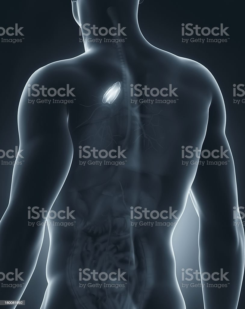 Male thymus anatomy posterior view royalty-free stock photo
