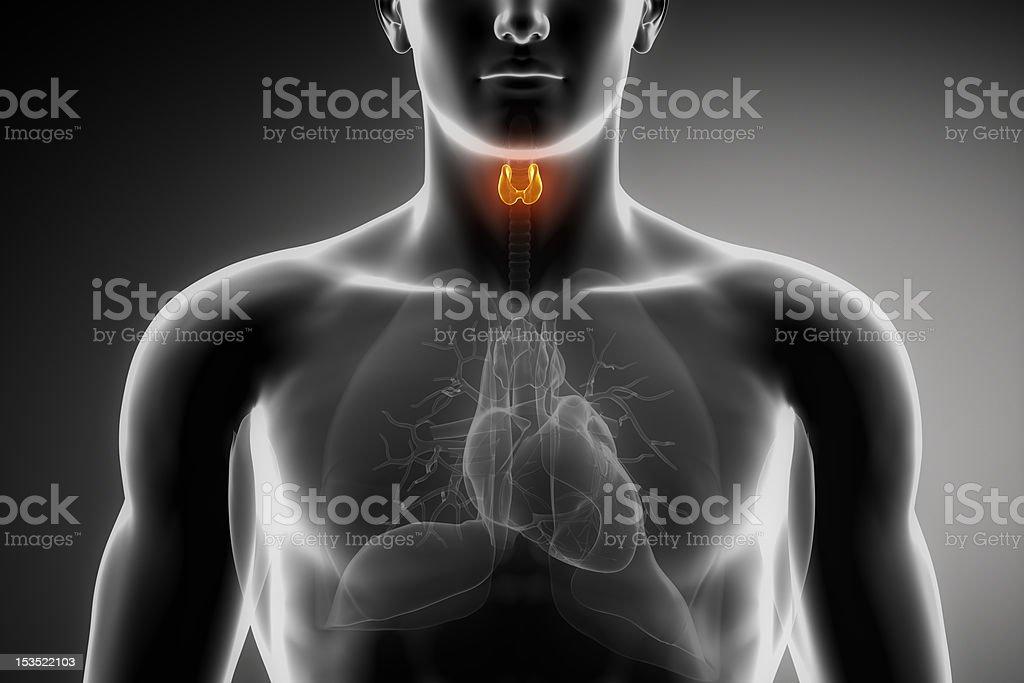 Male thyroid anatomy in black stock photo