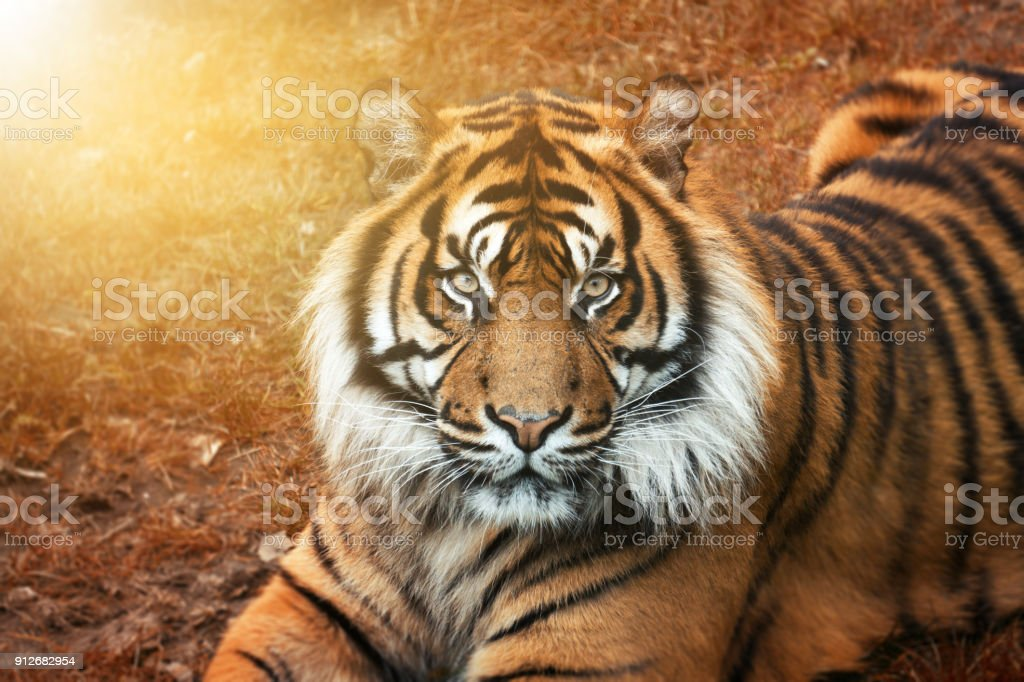Male tiger at golden sunset from the portrait with intense eyes stock photo