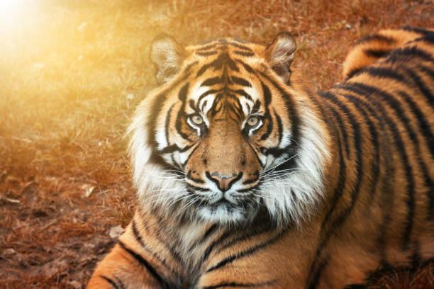 tigre mâle au coucher de soleil d'or depuis le portrait avec les yeux intense - tigre photos et images de collection