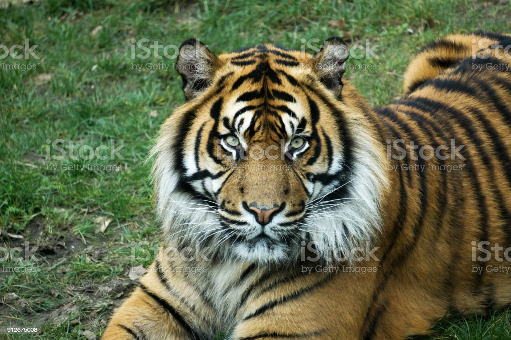 Male tiger at golden sunset from the portrait with intense golden eyes stock photo