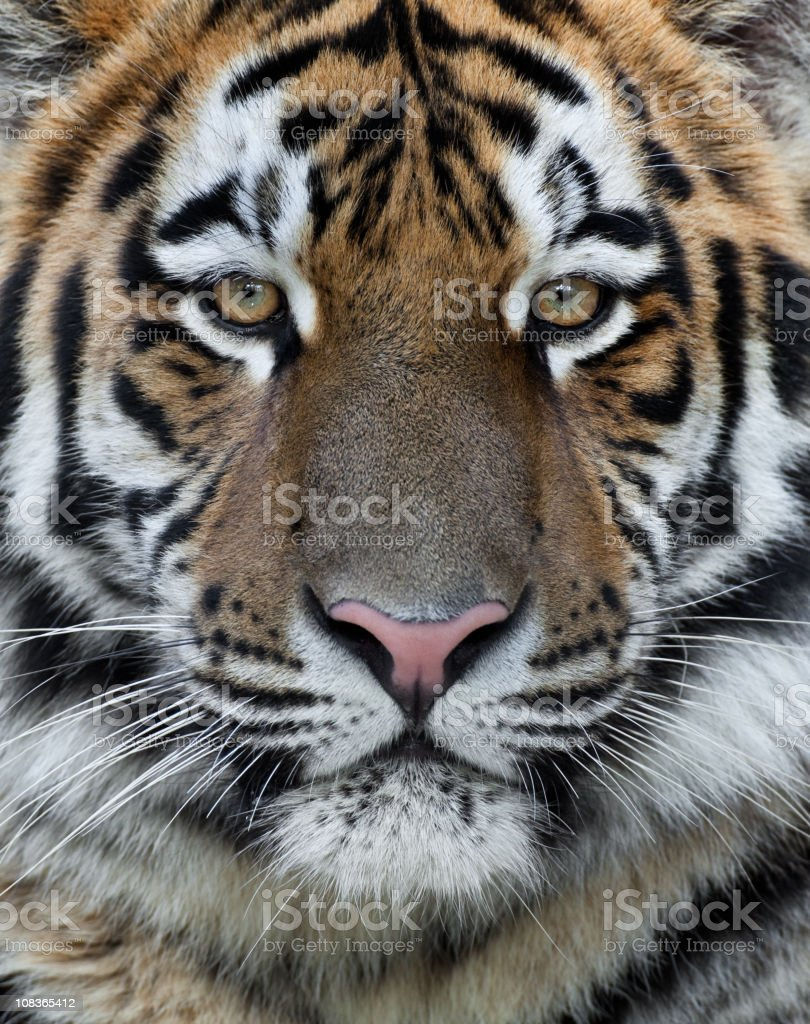 Male Tiger Close Up royalty-free stock photo