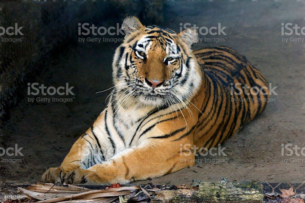 Male Tiger stock photo