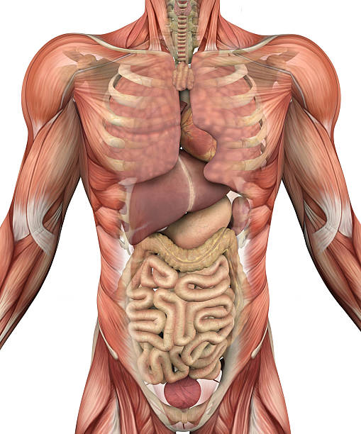 Male Torso with Muscles and Organs stock photo