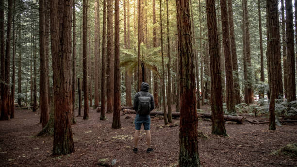 Male traveler looking up in Redwood forest Young male traveler wearing hoodie standing alone looking up in Redwood forest near Rotorua city (Whakarewarewa Forest) in North island, New Zealand. Travel concept whakarewarewa stock pictures, royalty-free photos & images
