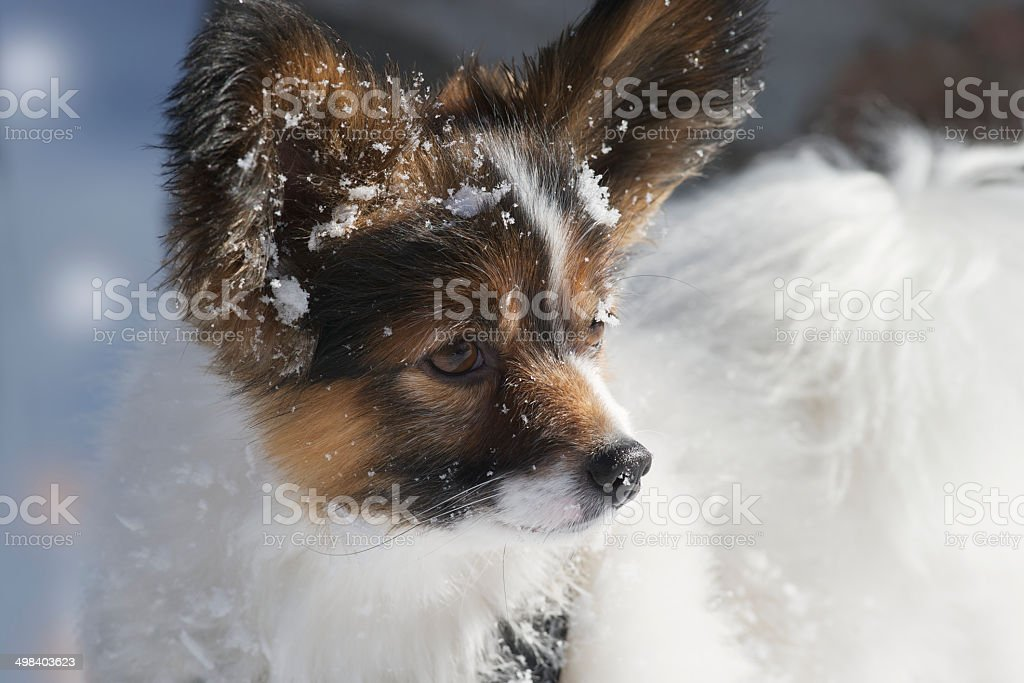 Male tricolor Papillon dog loves the snow in winter royalty-free stock photo
