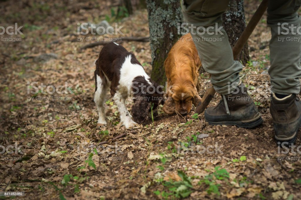 Male truffle hunter in 20's assists his two dogs that are sniffing and digging out truffles in the woods with a wooden hoe called vanghella, Abruzzo, Italy, Europe stock photo