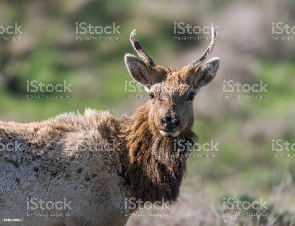 Male Tule Elk stock photo