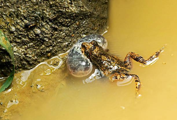 Male Tungara frog – Foto