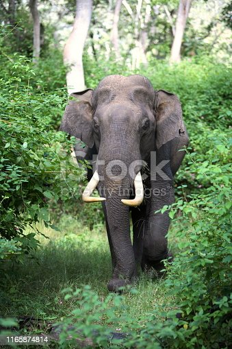 Male Tusker, elephant, at Mudumalai, Tamilnadu, India