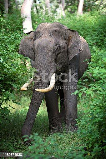 Male Tusker, elephant, at Mudumalai, Tamilnadu, India