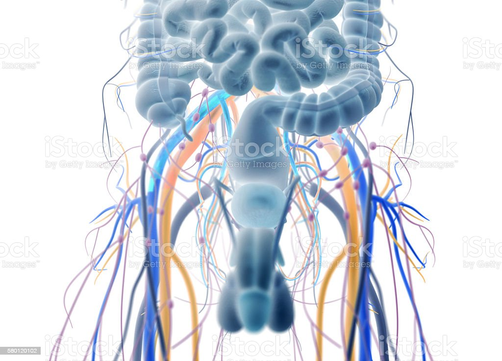 Male urinary and reproductive system. stock photo