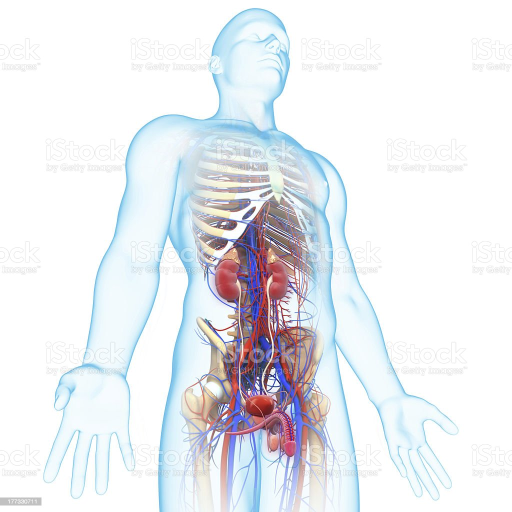 Male Urinary System Anatomy Stock Photo More Pictures Of Beauty