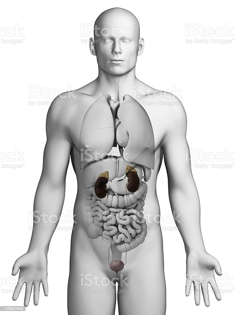 Male Urinary System Stock Photo & More Pictures of Abdomen