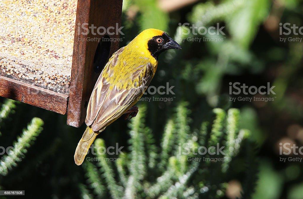 Male Village Weaver at Bird Feeder stock photo