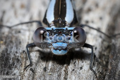 Macro image of a blue damselfly, native to North America, facing the camera.  Details and ommatidia are clear.