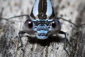 Mating Azure Damselflies (Coenagrion puella)