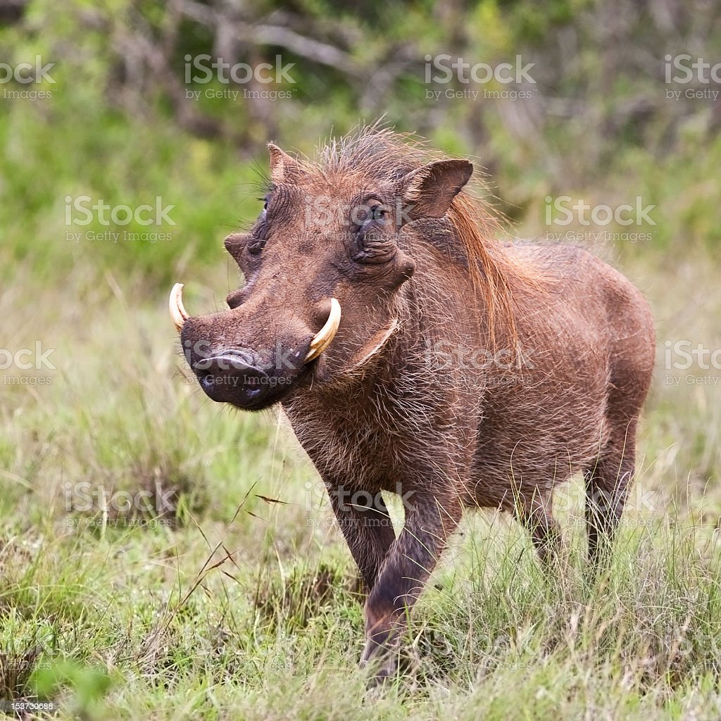 A male warthog walking in Kruger National Park  royalty-free stock photo