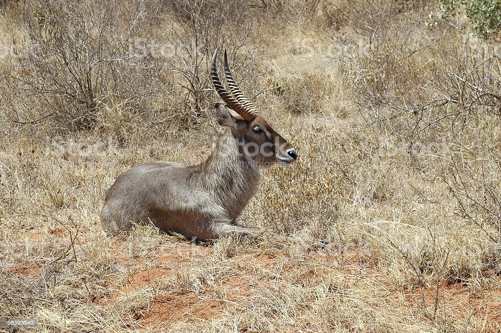 Maschio waterbuck at-rest foto stock royalty-free