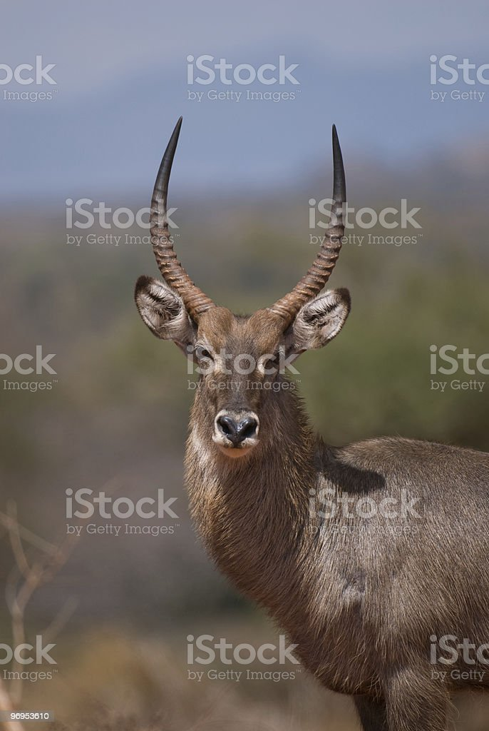 Male Waterbuck (Kobus ellipsiprymnus), East Tsavo, Kenya royalty-free stock photo