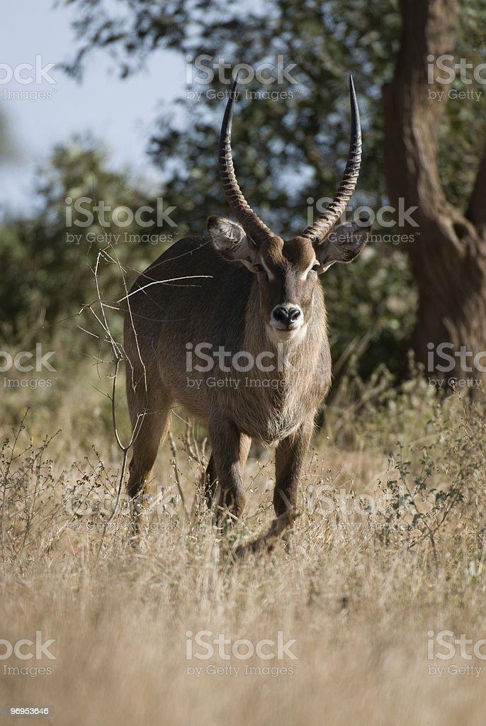 Male Waterbuck (Kobus ellipsiprymnus) East Tsavo, Kenya royalty-free stock photo