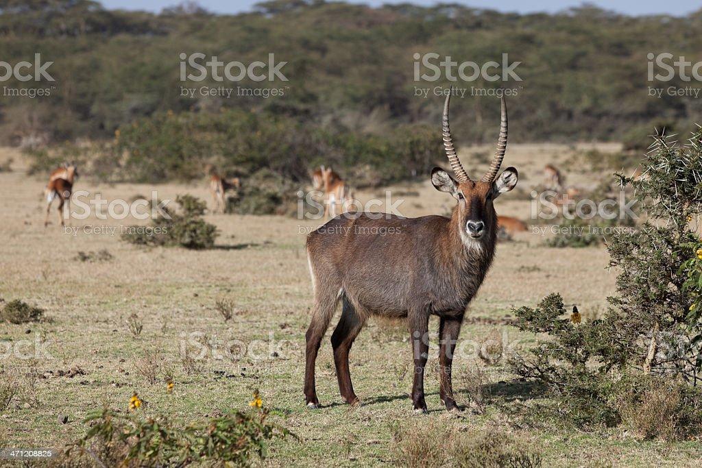 Male waterbuck , Kenya stock photo