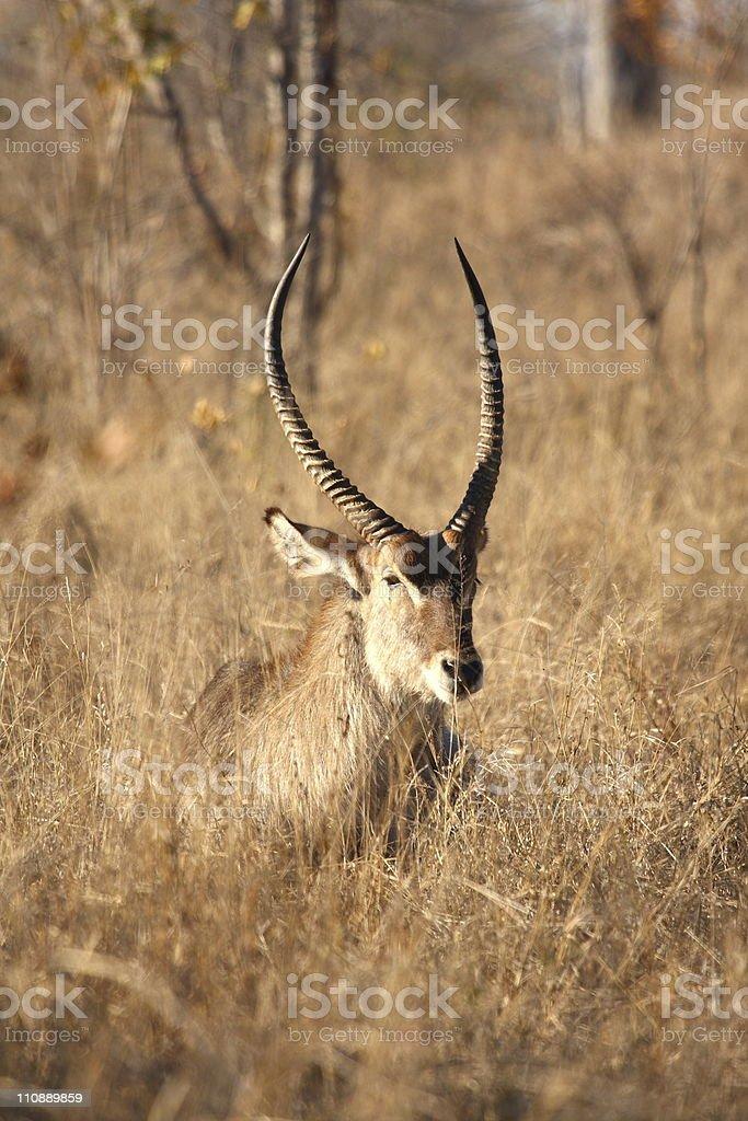 Male Waterbuck royalty-free stock photo