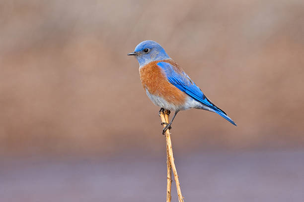 Male Western Bluebird Perched on a Stalk stock photo