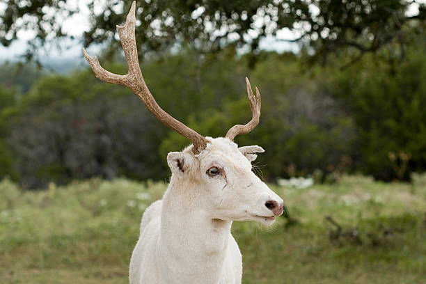 Male white deer stares intently