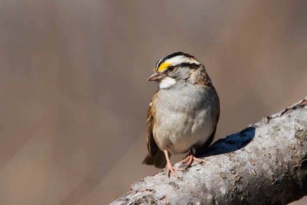 Male White throated Sparrow stock photo