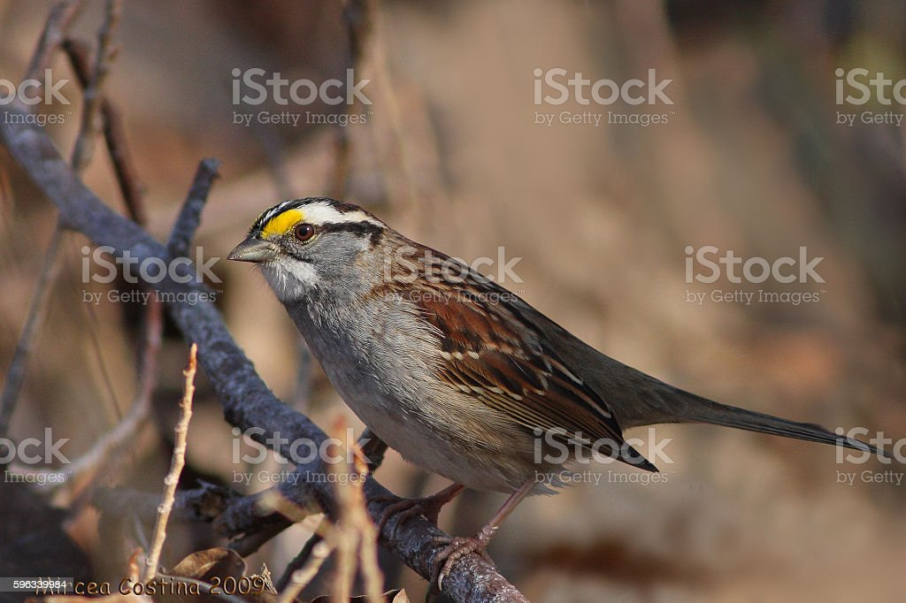 Male White-throated Sparrow royalty-free stock photo