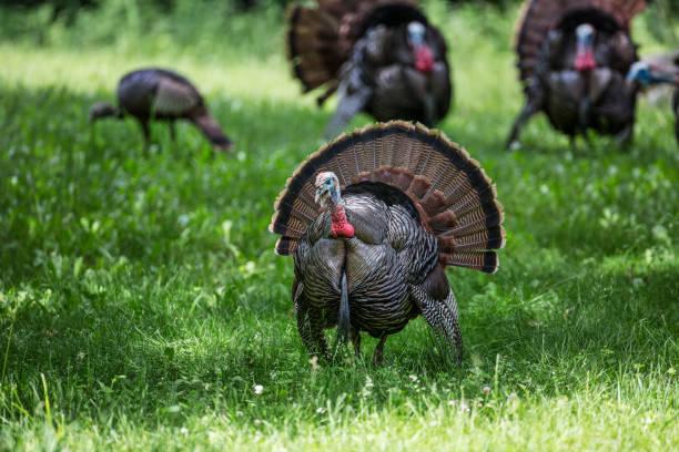 male wild turkey in foreground close-up with turkey in background - turkey zdjęcia i obrazy z banku zdjęć
