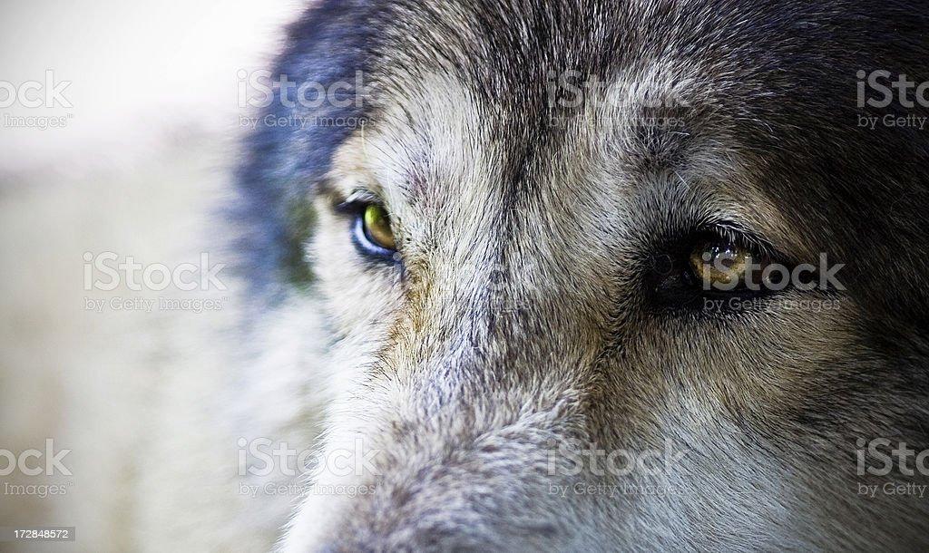Male Wolf Extreme Closeup on Eyes royalty-free stock photo
