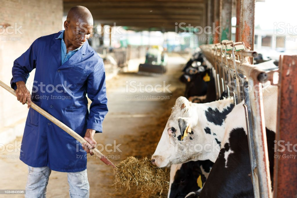 Male working on dairy farm stock photo