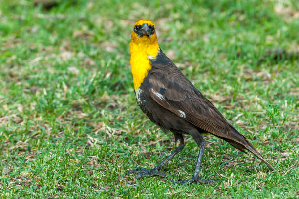 Male Yellow Headed Blackbird Foraging in a Meadow stock photo