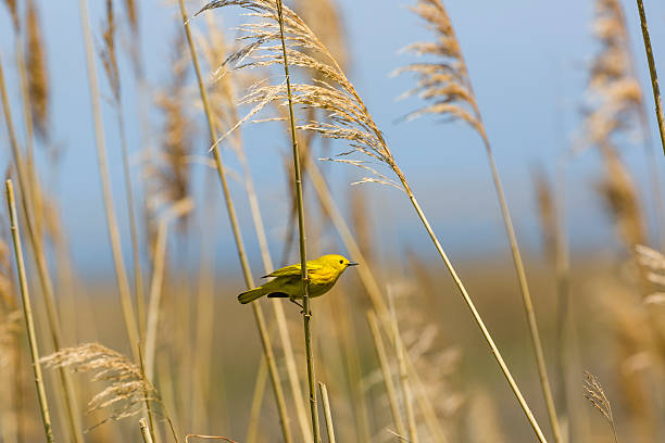 male yellow warbler (dendroica petechia) on marsh grass - setophaga stockfoto's en -beelden