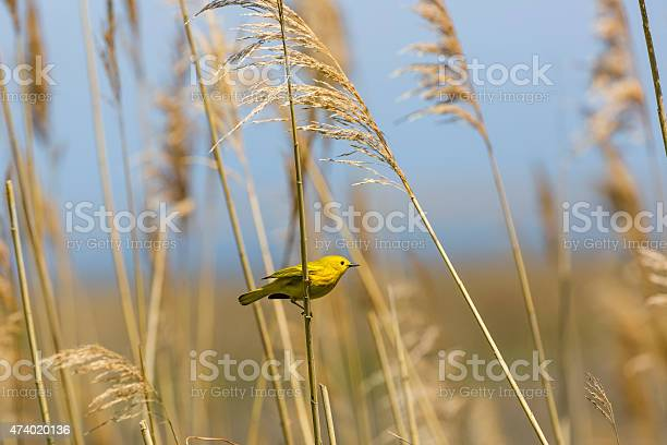 Male Yellow Warbler On Marsh Grass Stockfoto en meer beelden van 2015