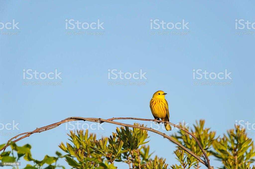 Male Yellow Warbler perched stock photo
