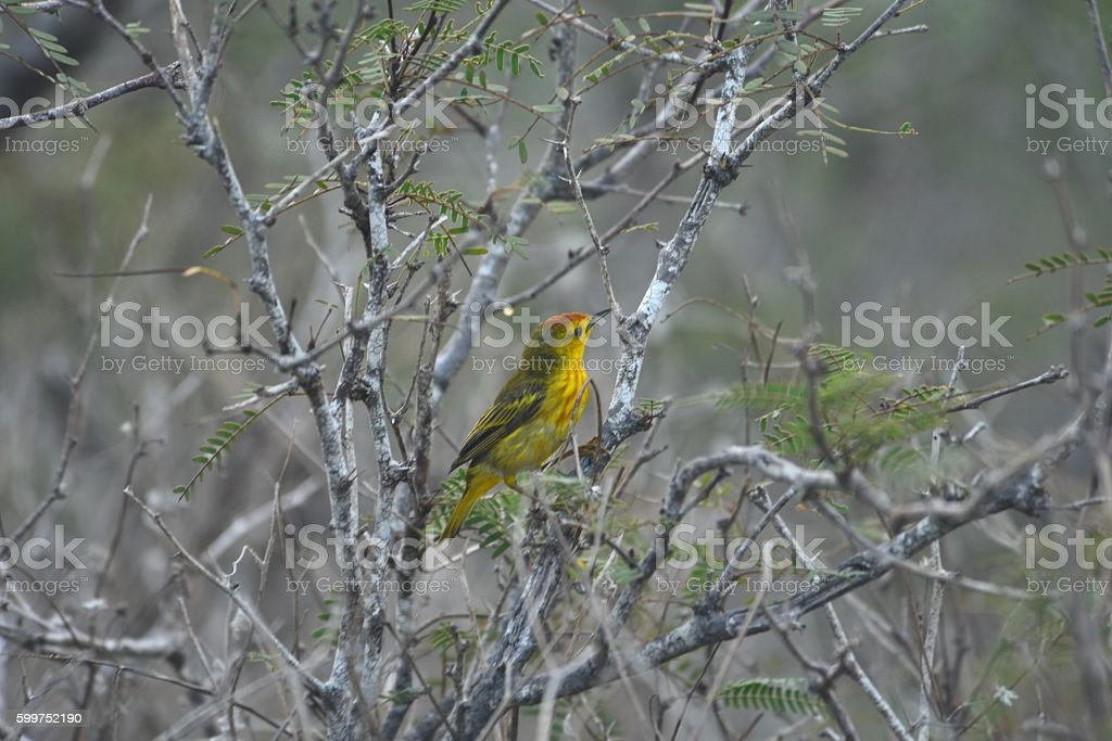 Male Yellow Warbler stock photo